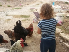 Israel+chickens3
