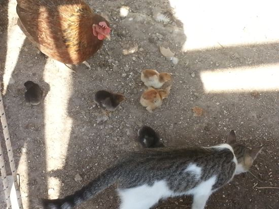 catbabychicks1