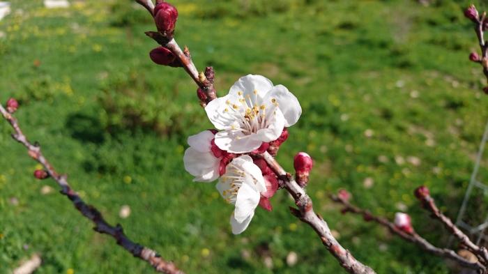 apricotblossom